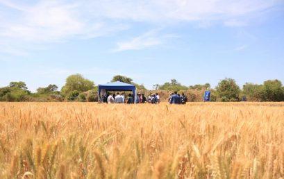 Día de Campo sobre el mejoramiento genético de la semilla del TRIGO.